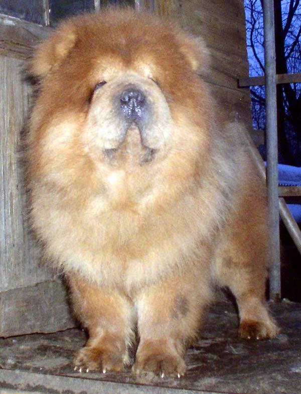 Чау-чау обладают всеми качествами сторожевой породы и собаки-компаньона: не слишком длинным плотным телом