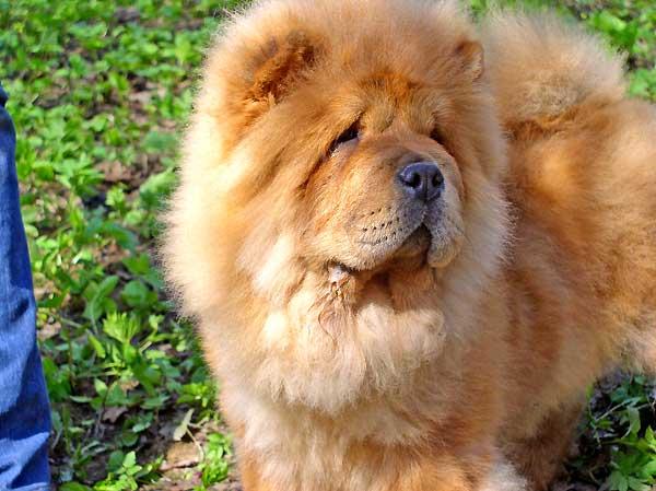 Чау чау щенки chow chow собака питомник